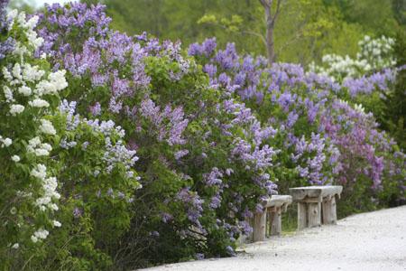 Web lilac path