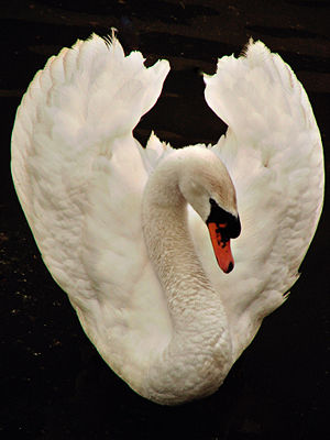300px-White_Swan_dsc01208-nevit