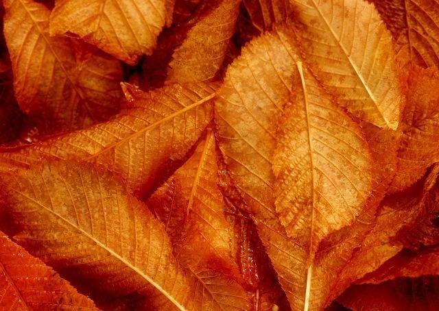 Lorien leaf