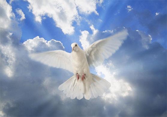 White_dove.23095031_std