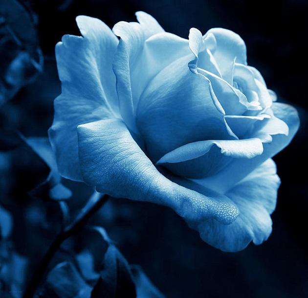 Spectre d'une rose