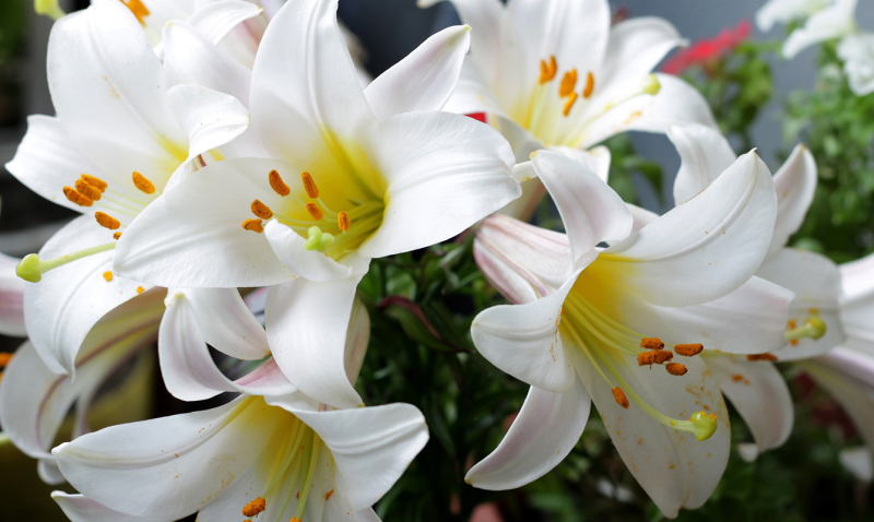 Easter-lilies